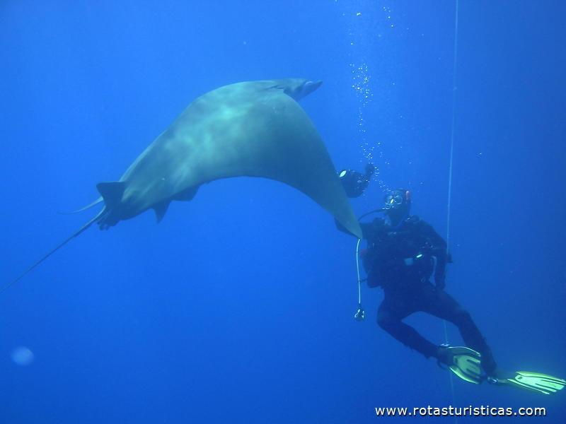 Mergulho Com Mantas (Ilha do Pico)